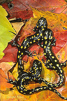 SL01-109x  Salamander - spotted salamander adult on autimn leaves - Ambystoma maculatum