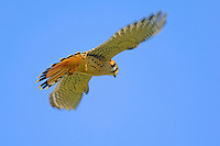 American Kestrel (Falco sparverius) hovering while hunting.