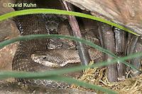 0513-1101  Banded Rock Rattlesnake (Green rattlesnake, Green Rock Rattlesnake, Montane Rattlesnake), Southwestern United States, Crotalus lepidus klauberi   © David Kuhn/Dwight Kuhn Photography