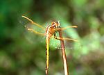 Golden Winged Skimmer-Libellula auripennis