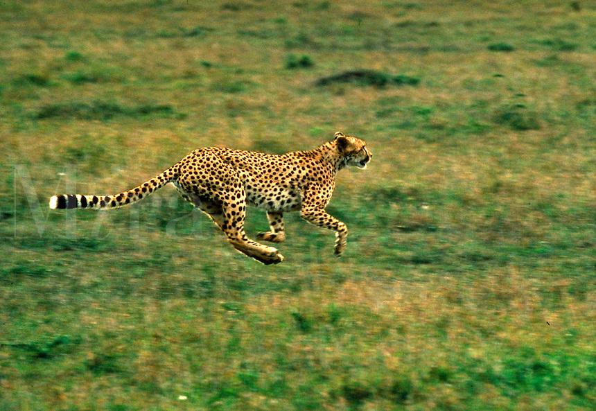 Cheetah running on savannah, Kenya, Africa. Speed. wildlife, animals, big cats. Kenya Africa.