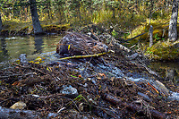 North American Beaver (Castor canadensis) carrying branches (for winter food) over dam it has made.  British Columbia, Canada.  Fall.  In late summer/fall beavers cut down many bushes and trees and haul them back to their lodge area to store for winter food--once the pond freezes.