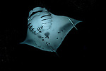 colorful tropical reefs, healthy reefs, Manta Rays, reefscapes, Wide Angle