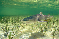 juvenile lemon shark (about 1 year old) Negaprion brevirostris Bimini Lagoon, Bahamas, Caribbean Sea, Atlantic Ocean