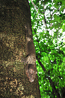 .Henkel's Leaf-tailed Gecko  (Uroplatus henkeli), adult on a rainforest tree trunk, Ankarana National Park, Northern Madagascar