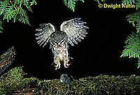 OW08-023p  Saw-whet owl - flying to catch prey mouse - Aegolius acadicus, digitally improved, subject unchanged