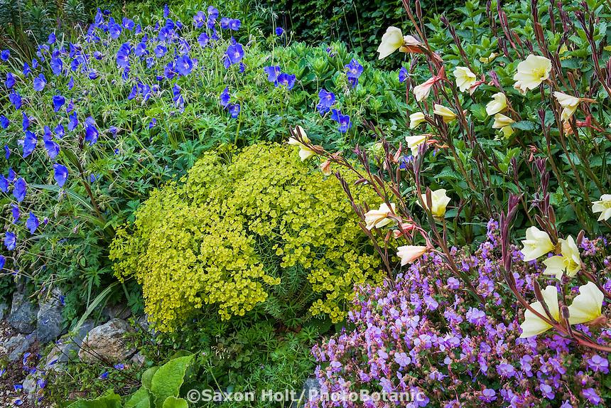 Perennial border with chartreuse Euphorbia 'Dean's Hybrid', blue flower Geranium 'Orion', Oenothera stricta, violet Geranium cantabrigiense 'Cambridge Blue', in garden at Digging Dog Nursery