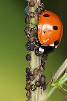 Siebenpunkt-Marienkäfer, Käfer in einer Blattlaus-Kolonie, frisst Blattläuse, Siebenpunkt - Marienkäfer, 7-Punkt, Coccinella septempunctata, seven-spot ladybird, sevenspot ladybird, 7-spot ladybird
