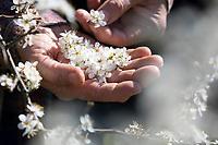 Schlehenblüten-Ernte, Schlehenblütenernte, Schlehen-Ernte, Schlehenernte, Ernte, Sammeln von Schlehenblüten, Schlehe, Gewöhnliche Schlehe, Schwarzdorn, Blüte, Blüten, Schlehenblüte, Schlehen, Prunus spinosa, Blackthorn, Sloe, Epine noire, Prunellier