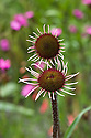 Echinacea pallida, end June.