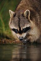 Northern Raccoon (Procyon lotor), adult at night feeding from wetland lake, Fennessey Ranch, Refugio, Coastal Bend, Texas Coast, USA