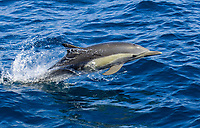 Long-beaked Common Dolphin (Delphinus capensis), adult, leaping, Sea of Cortez, Mexico, Central America