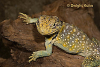 1R17-507z  Collared Lizard, Male, Crotaphytus collaris