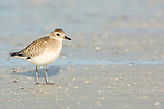 USA, Florida, Ft. Myer's Beach, Sanderling