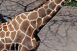Outdoors sunny day with close-up of giraffe neck with patterns at the Washington Park Zoo Portland Oregon State USA