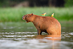 Adult Capybara (Hydrochaeris hydrochaeris) (world's largest rodent) with Cattle Tyrants (Machetornis rixosa) in close attention. Lagoon off the Paraguay River. Taiama Ecological Reserve, Pantanal, Brazil.