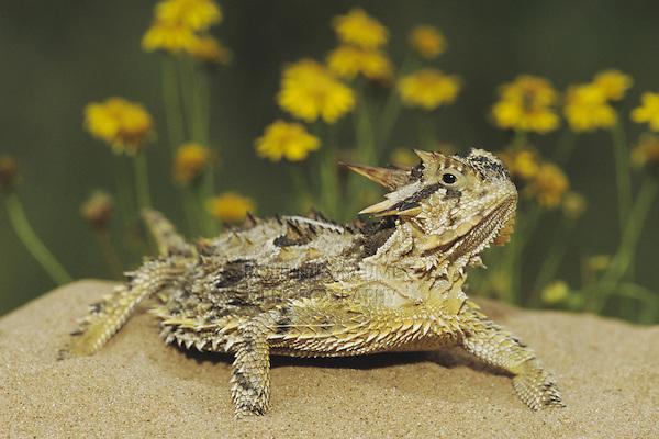 Texas Horned Lizard (Phrynosoma cornutum), adult, Starr County, Rio Grande Valley, Texas, USA