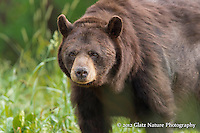 Huge brown-colored Black Bear (Ursus americanus) pauses from feeding on grass to sniff for other bears, Northern Minnesota.