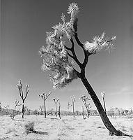 Burnt Joshua Trees<br />