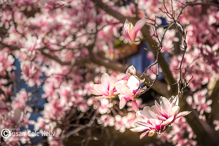 Magnolias in the Back Bay neighborhood, Boston, Massachusetts, USA