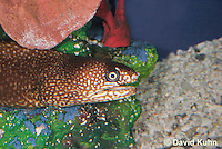 0114-0906  Ocellated Moray Eel (Spotted Moray), Gymnothorax saxicola © David Kuhn/Dwight Kuhn Photography.
