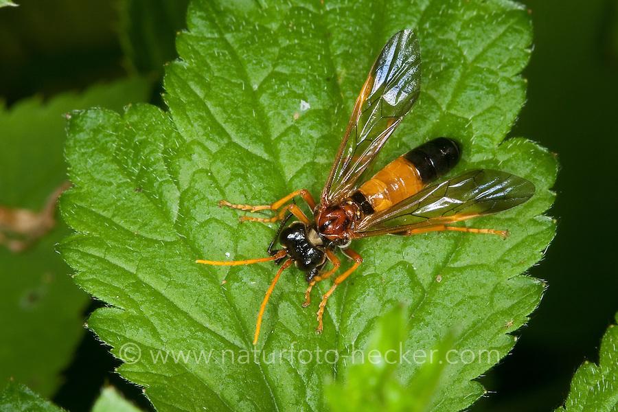 Feld-Blattwespe, Feldblattwespe, räuberische Blattwespe hat Insekt erbeutet und frisst dieses, Tenthredo campestris, Field Sawfly