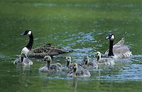 Kanadagans, Paar, Pärchen führt Junge, Küken, Kanada-Gans, Gans, Branta canadensis, Canada goose