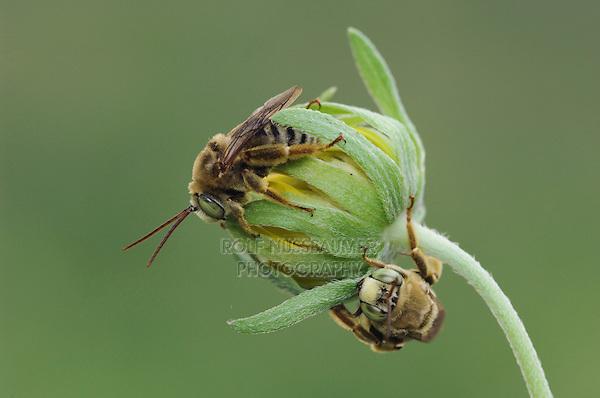 on Golden Crownbeard (Verbesina encelioides), Willacy County, Rio Grande Valley, Texas, USA