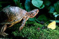 Male Ornate box turtle, terrapene ornata ornata, in garden with delicate yellow common sulfur butterfly in garden with fresh blackberries