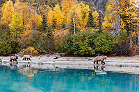Alaska brown bear sow and cubs walk shorline of  Crescent Lake with fall colors in Lake Clark National Park. Alaska<br /> <br /> Photo by Jeff Schultz/  (C) 2020  ALL RIGHTS RESERVED