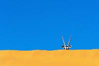 Oryxantilope im Dead Vlei nahe Sossusvlei: NAMIBIA, AFRIKA, 18.12.2019: Oryxantilope im Dead Vlei bei Sossusvlei
