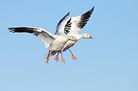 Snow Goose (Chen caerulescens). Sauvie Island Wildlife Area, Oregon. October.