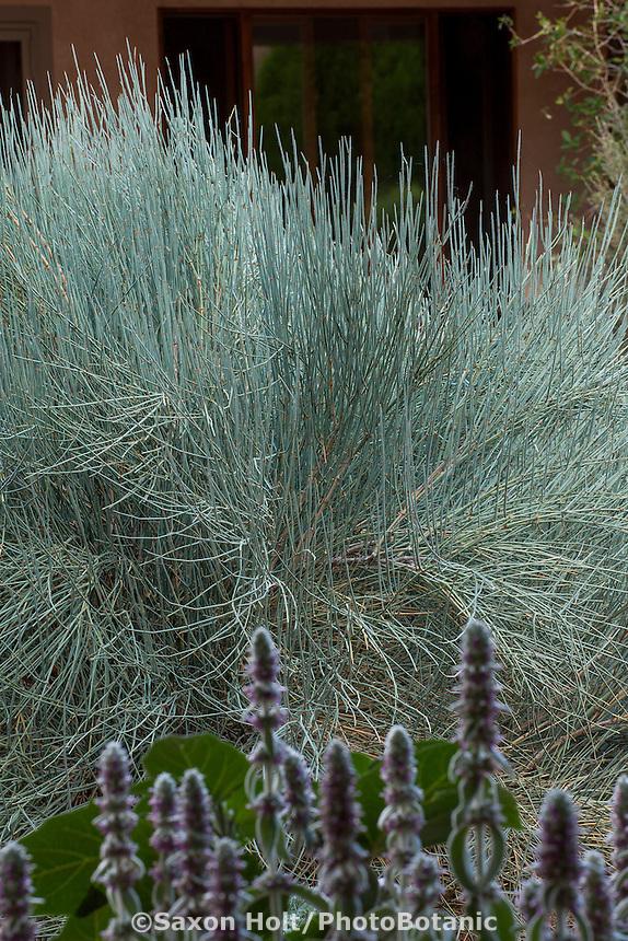 Ephedra equisetina, Bluestem Ephedra, silver grey foliage drought tolerant shrub in New Mexico backyard garden, design by Judith Phillips