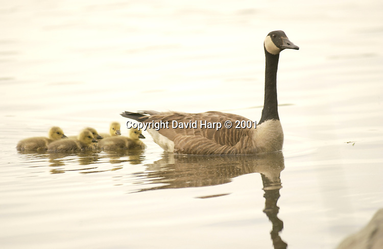 Non-migratory Canada geese in the Chesapeake Bay region