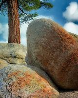 Ponderosa Pine tree and colorful granite glacial erratic boulders. Lake Tahoe, California
