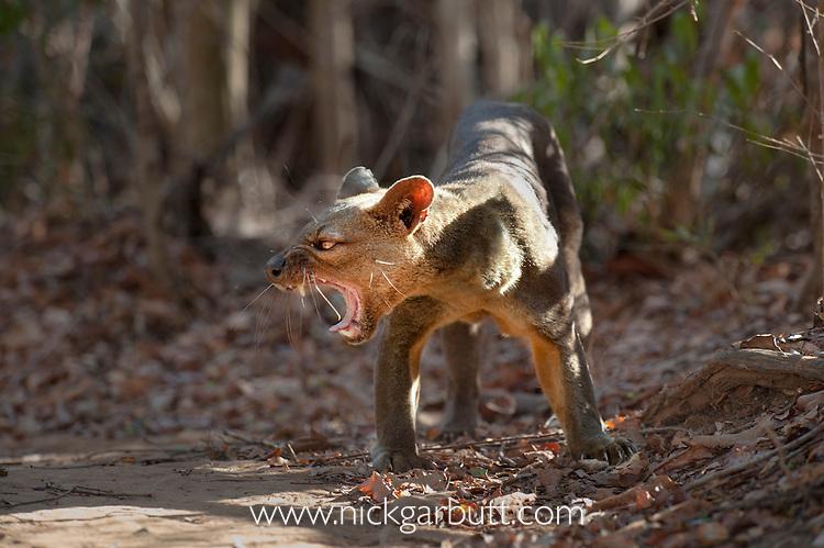 Adult male Fosa (Crytoprocta ferox) (sometimes incorrectly Fossa) yawning. Deciduous forest, Kirindy Forest, western Madagascar.