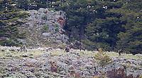 Lamar Canyon wolf pack members.