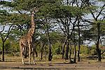 An African Giraffe(Giraffa camelopardalis) on the Masai Mara National Reserve safari in southwestern Kenya.