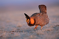 A lone male Greater Prairie-Chicken booming on a lek. Booming is a low frequency 3-syllable sound produced by the syrinx and amplified by the esophageal air sacs. During the booming display males produce sounds by stamping their feet, wing-shaking, and tail-clicking. Ft. Pierre National Grassland, South Dakota.