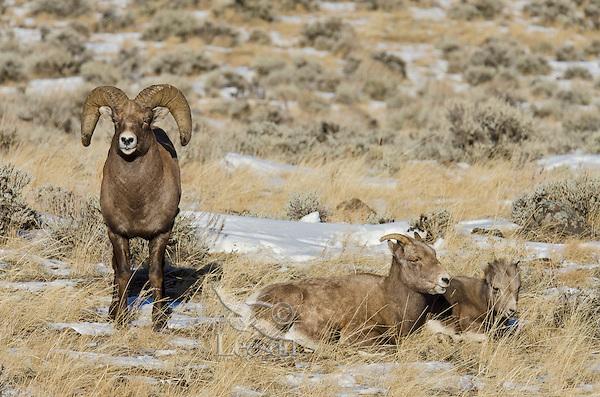 Bighorn Sheep (Ovis canadensis) family--ram, ewe and lamb.  Western U.S., late fall.