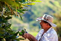 A Colombian farm worker cuts off the stems of avocado fruits at a plantation near Sonsón, Antioquia department, Colombia, 22 November 2019. Over the past decade, the Colombian avocado industry has experienced massive growth, both as a result of general economic development in Colombia, and the increased global demand for so-called superfood products. The geographical and climate conditions in Antioquia (high altitude, no seasonal extremes, high precipitation rate) allow two harvest windows of the Hass avocado variety across the year. Although the majority of the Colombian avocado exports are destined towards Europe now, Colombia aspires to become one of the major avocado suppliers to the U.S. market in the near future.