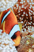 two-banded anemonefish, Amphiprion bicinctus, tending eggs laid near its host magnificent sea anemone, Heteractis magnifica, Sudan, Red Sea, Indian Ocean