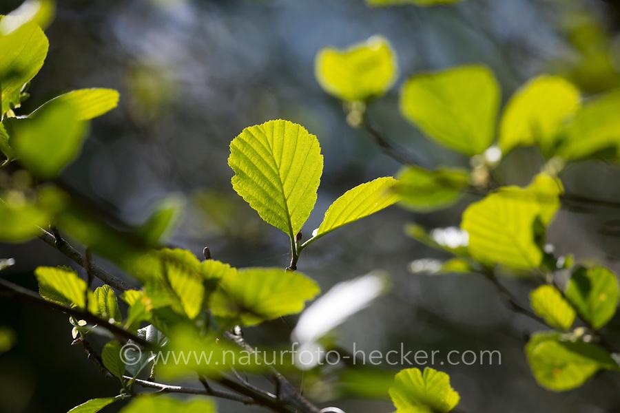 Schwarz-Erle, Schwarzerle, Erle, Alnus glutinosa, Common Alder, Alder, Aulne glutineux. Blatt, Blätter, leaf, leaves