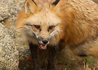 Red Fox in Yosemite, Calif.