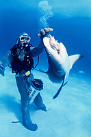 scuba diver Kieron Baudains (wearing chain mail suit) feeds Caribbean reef shark, Carcharhinus perezii; nictitating membrane closes to protect shark's eye, Bahamas, Caribbean Sea, Atlantic Ocean