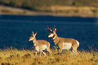 Pronghorn (Antilocapra americana) antelope buck and doe.  Western US. fall.