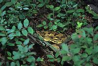 Eastern Timber Rattlesnake, Highlands, New Jersey