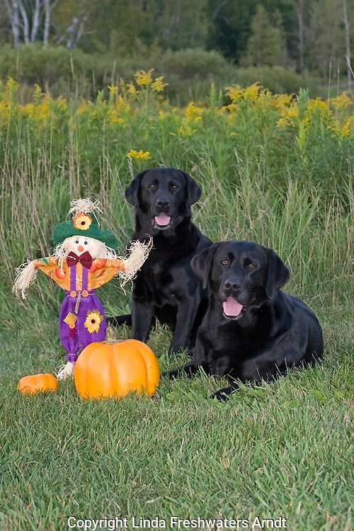 Black Labrador retrievers (AKC) posed next to pumpkins and straw scarecrow.  Fall.  Winter, WI.