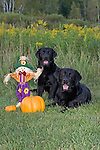 Black Labrador retrievers (AKC) posed next to pumpkins and straw scarecrow.  Fall.  Winter, WI.