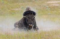 American bison (Bison bison) bull wallowing during summer mating season.  Western Plains.